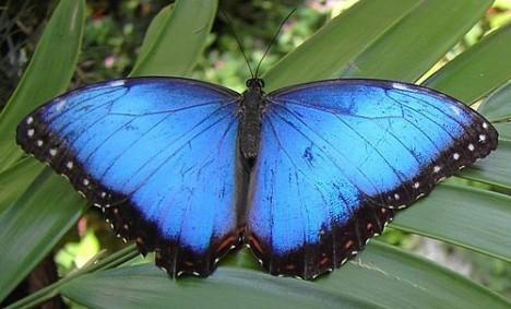 blue_morpho500