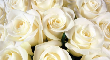pure-white-roses